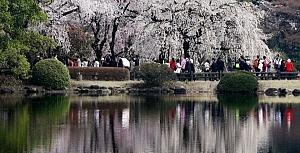Japonya'da sakura şöleni
